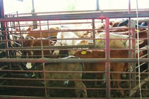 cow_sale_035_15