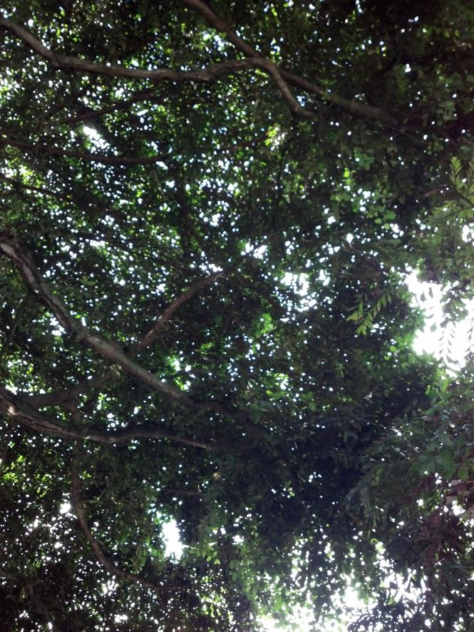 Looking up at the huge banyan tree