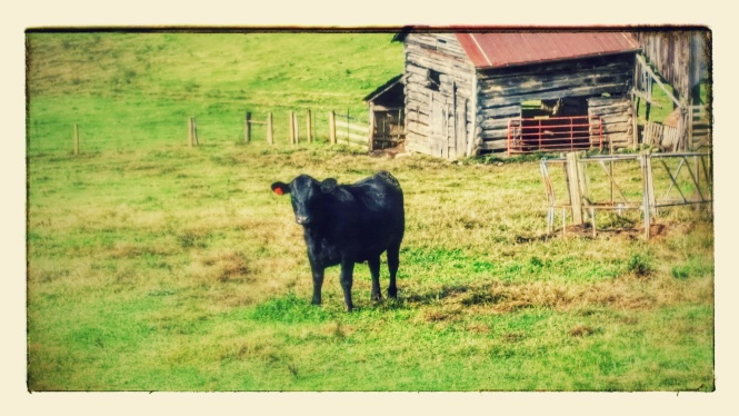 My cow friend