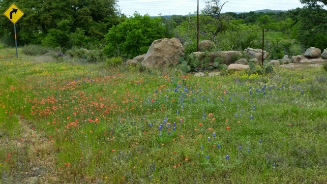 Bluebonnets and orange Indian Paintbrish were spectacular.