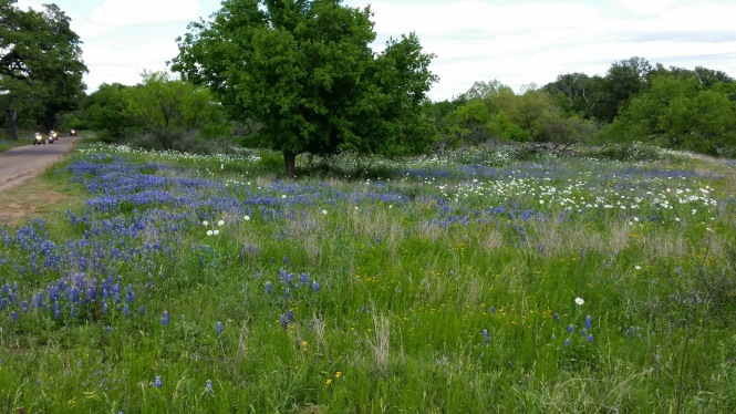 Bluebonnets prevail!