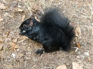 A Black squirrel!