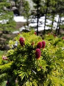 Baby spruce cones