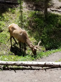 Grazing elk just below the trail